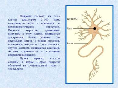 Нейроны состоят из тела клетки диаметром 3–100 мкм, содержащего ядро и органо...