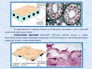В зависимости от формы клетки и количества клеточных слоев эпителий делится н...