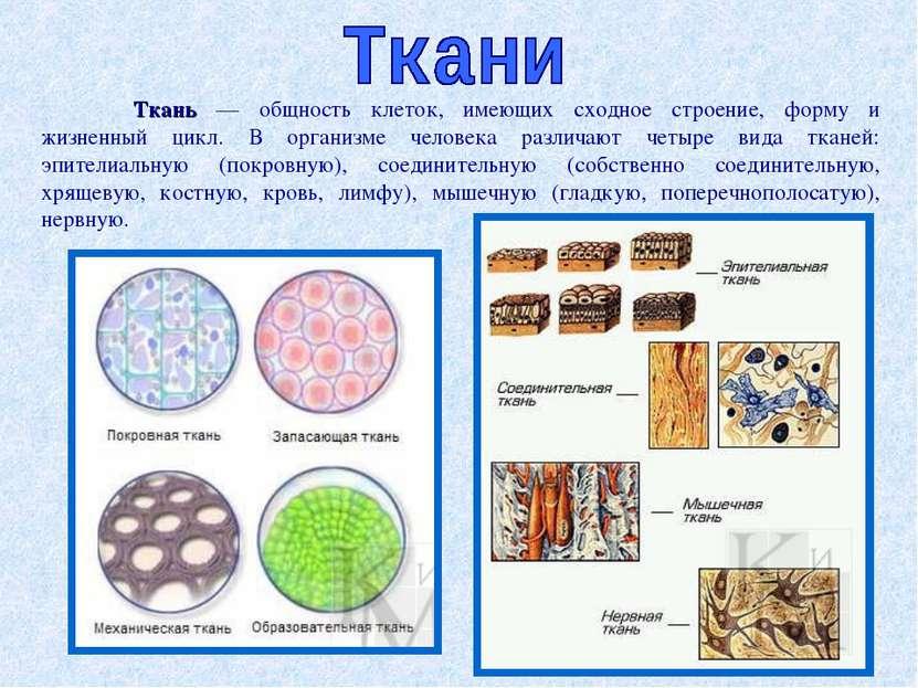 Ткань — общность клеток, имеющих сходное строение, форму и жизненный цикл. В ...