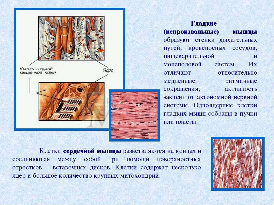 Гладкие (непроизвольные) мышцы образуют стенки дыхательных путей, кровеносных...
