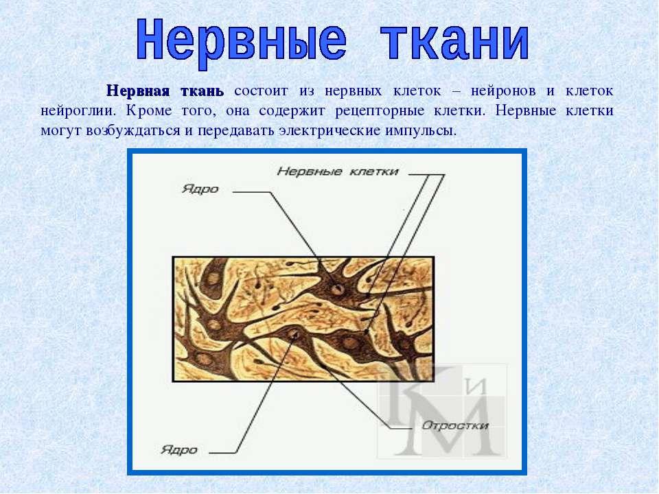 Нервная ткань состоит из нервных клеток – нейронов и клеток нейроглии. Кроме ...