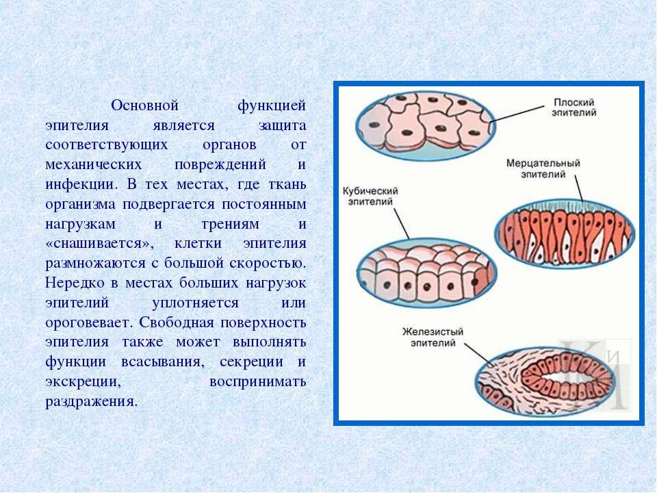 Основной функцией эпителия является защита соответствующих органов от механич...