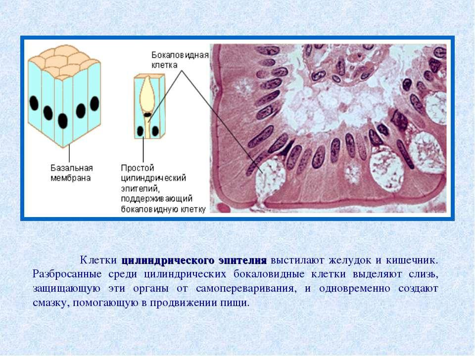 Клетки цилиндрического эпителия выстилают желудок и кишечник. Разбросанные ср...