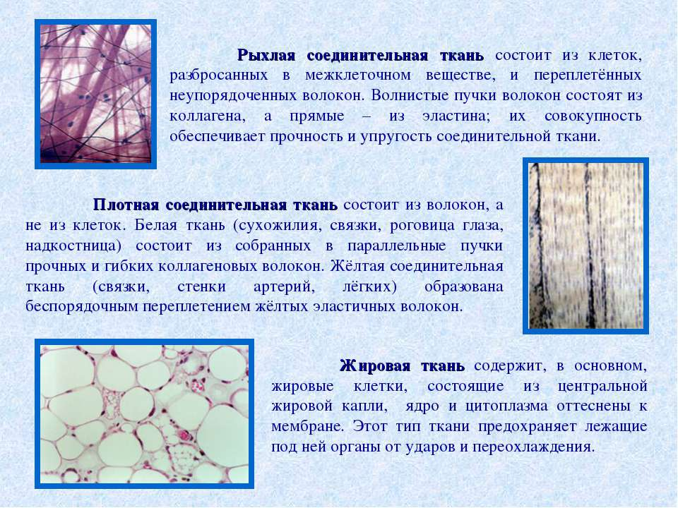 Рыхлая соединительная ткань состоит из клеток, разбросанных в межклеточном ве...