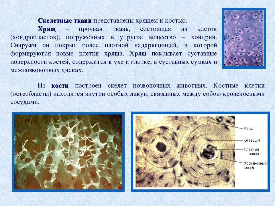 Скелетные ткани представлены хрящем и костью. Хрящ – прочная ткань, состоящая...