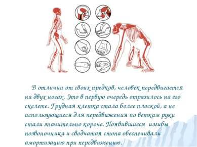В отличии от своих предков, человек передвигается на двух ногах. Это в первую...