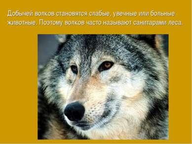Добычей волков становятся слабые, увечные или больные животные. Поэтому волко...