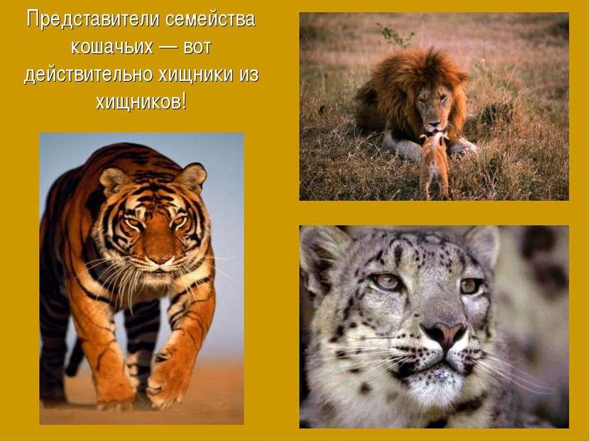 Представители семейства кошачьих — вот действительно хищники из хищников!