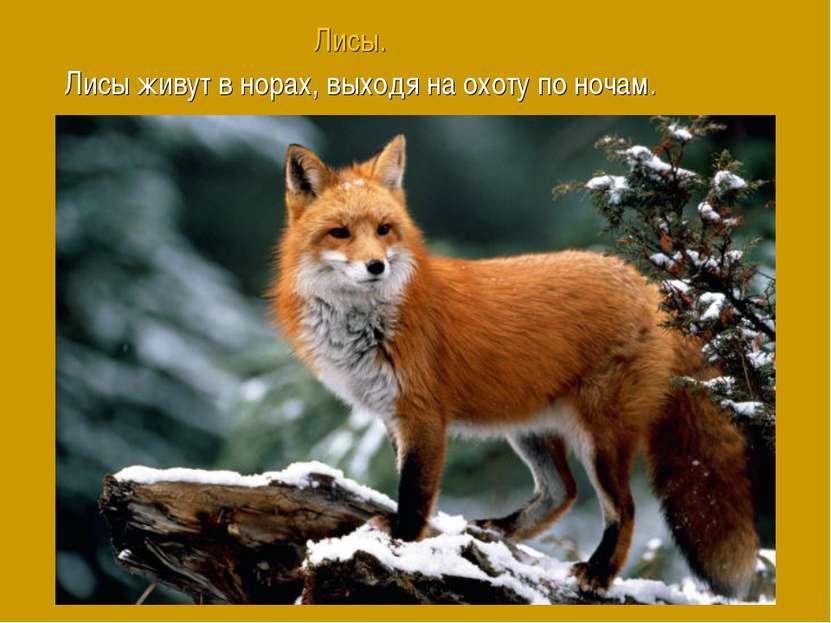 Лисы. Лисы живут в норах, выходя на охоту по ночам.