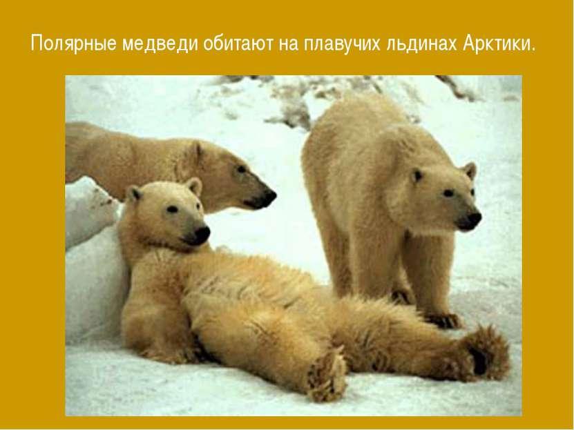 Полярные медведи обитают на плавучих льдинах Арктики.