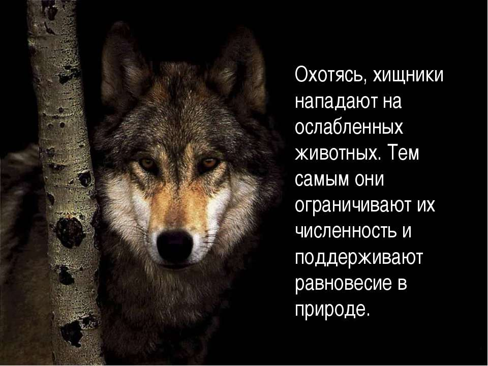 Охотясь, хищники нападают на ослабленных животных. Тем самым они ограничивают...