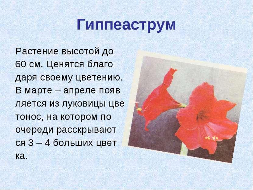 Гиппеаструм Растение высотой до 60 см. Ценятся благо даря своему цветению. В ...