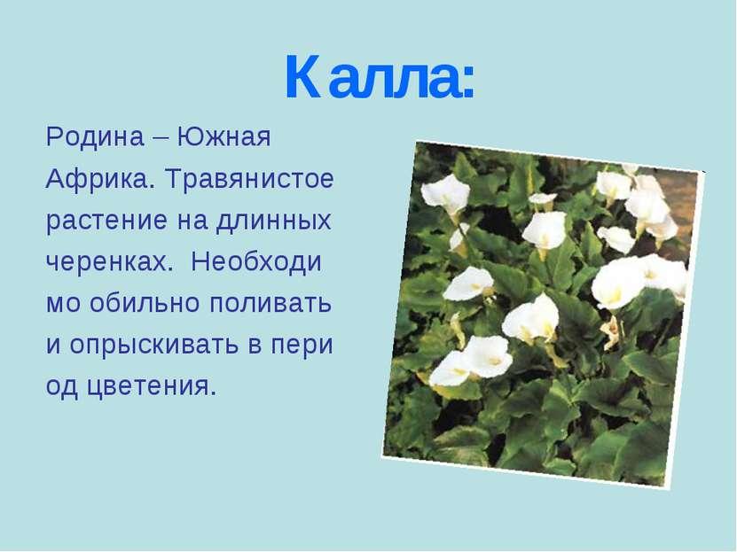 Калла: Родина – Южная Африка. Травянистое растение на длинных черенках. Необх...