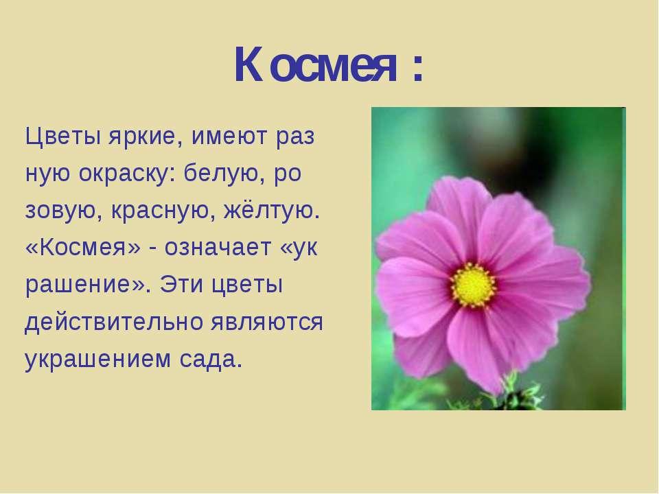 Космея : Цветы яркие, имеют раз ную окраску: белую, ро зовую, красную, жёлтую...
