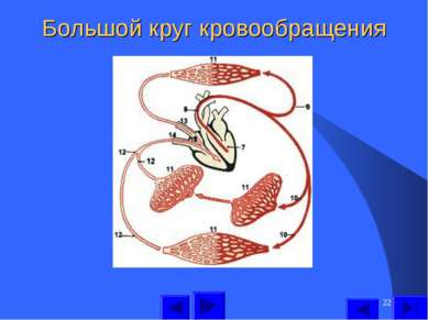 * Большой круг кровообращения