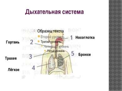 Дыхательная система Носоглотка Гортань Трахея Лёгкое Бронхи