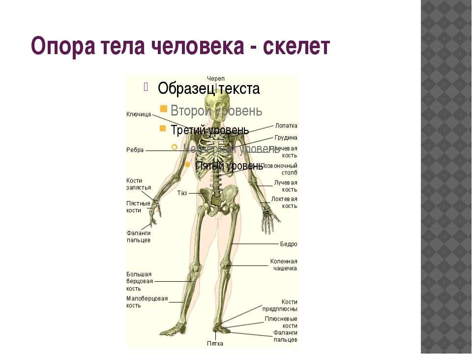Опора тела человека - скелет