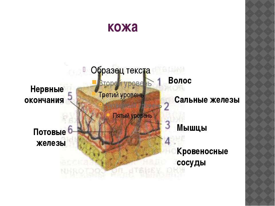 кожа Волос Сальные железы Мышцы Кровеносные сосуды Нервные окончания Потовые ...