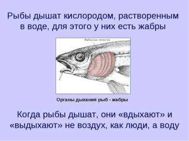Рыбы дышат кислородом, растворенным в воде, для этого у них есть жабры Когда ...