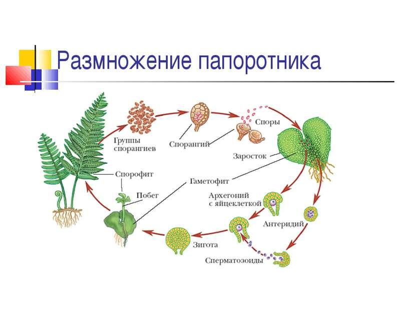 Размножение папоротника