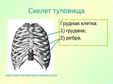 Скелет туловища Грудная клетка: 1) грудина; 2) ребра. http://www.med-site.nar...