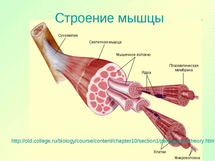 Строение мышцы http://old.college.ru/biology/course/content/chapter10/section...