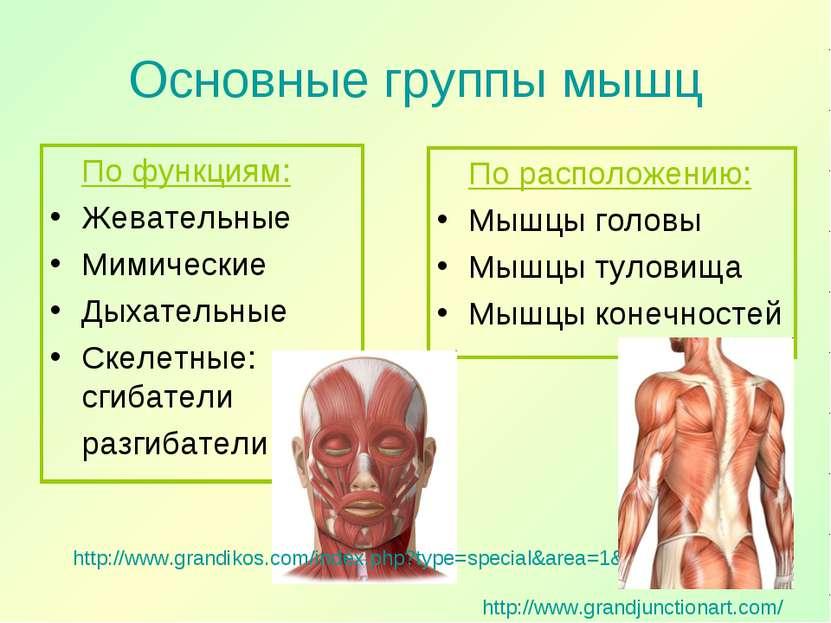 Основные группы мышц По функциям: Жевательные Мимические Дыхательные Скелетны...
