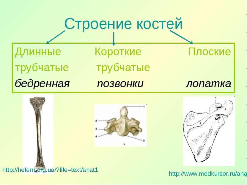 Строение костей Длинные Короткие Плоские трубчатые трубчатые бедренная позвон...