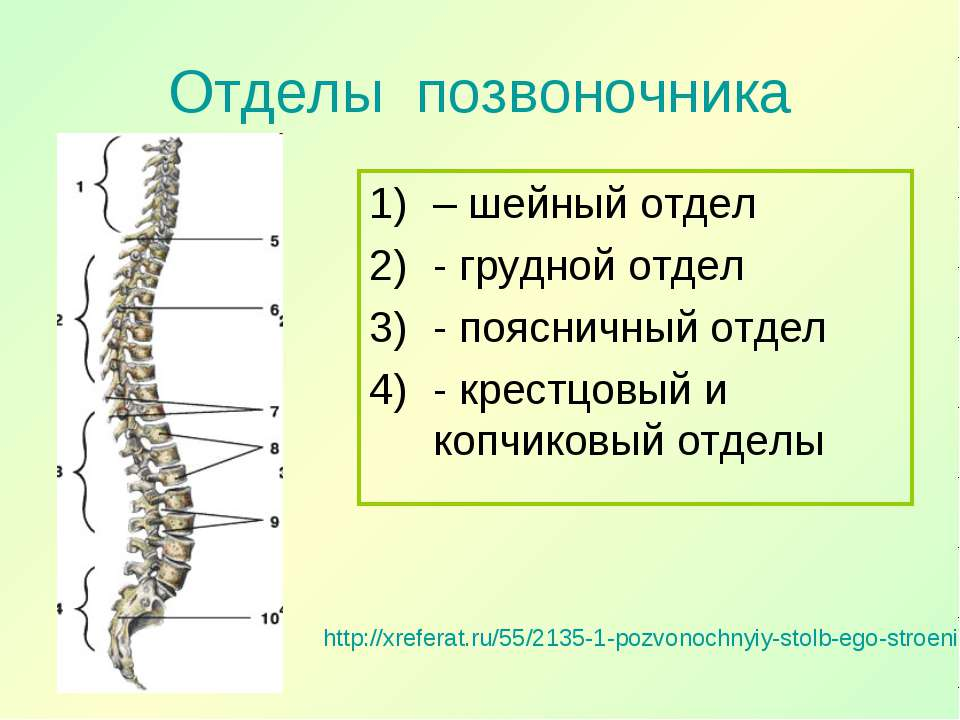 Отделы позвоночника http://xreferat.ru/55/2135-1-pozvonochnyiy-stolb-ego-stro...