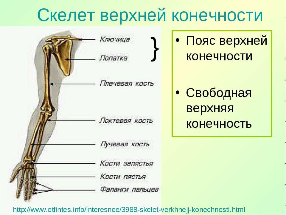 http://www.otfintes.info/interesnoe/3988-skelet-verkhnejj-konechnosti.html По...