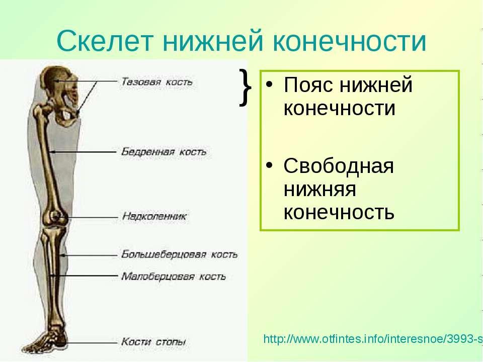 Скелет нижней конечности http://www.otfintes.info/interesnoe/3993-skelet-nizh...