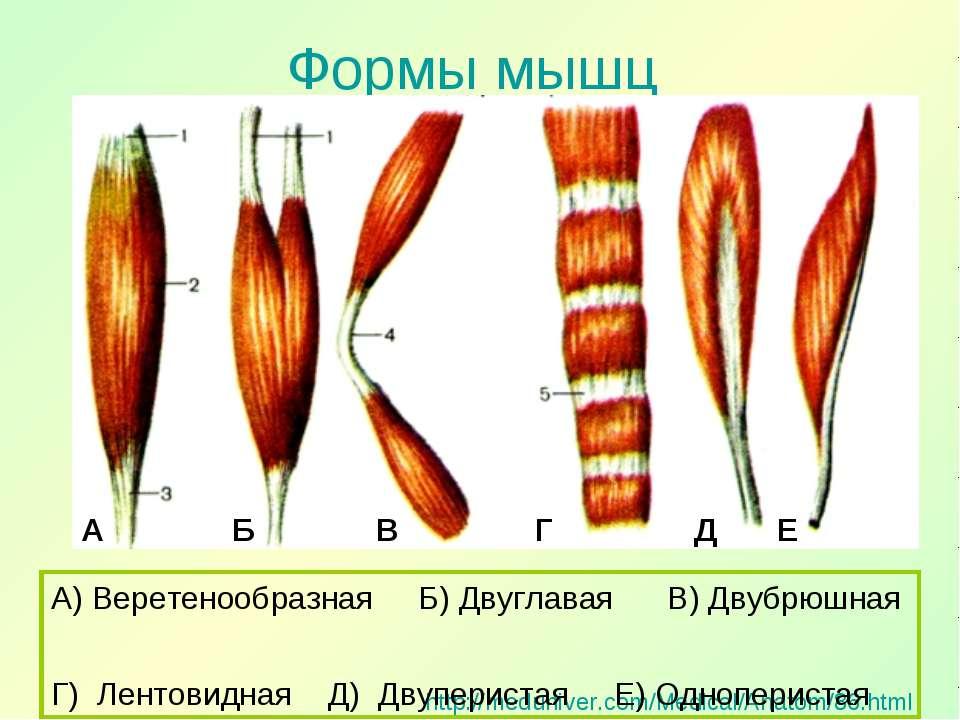 Формы мышц http://meduniver.com/Medical/Anatom/86.html А) Веретенообразная Б)...