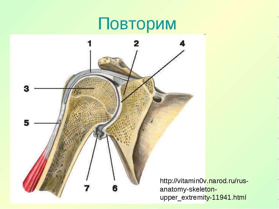 Повторим http://vitamin0v.narod.ru/rus-anatomy-skeleton-upper_extremity-11941...
