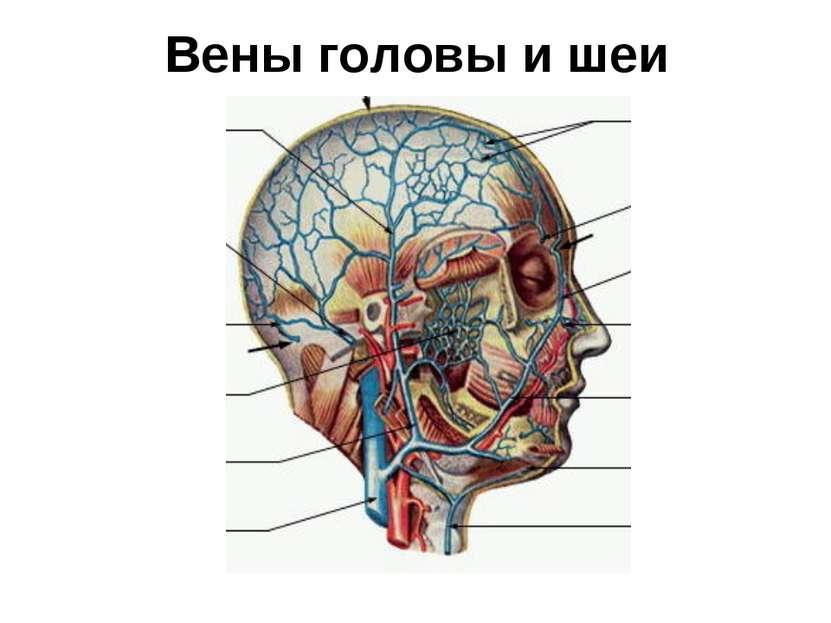 Вены головы и шеи