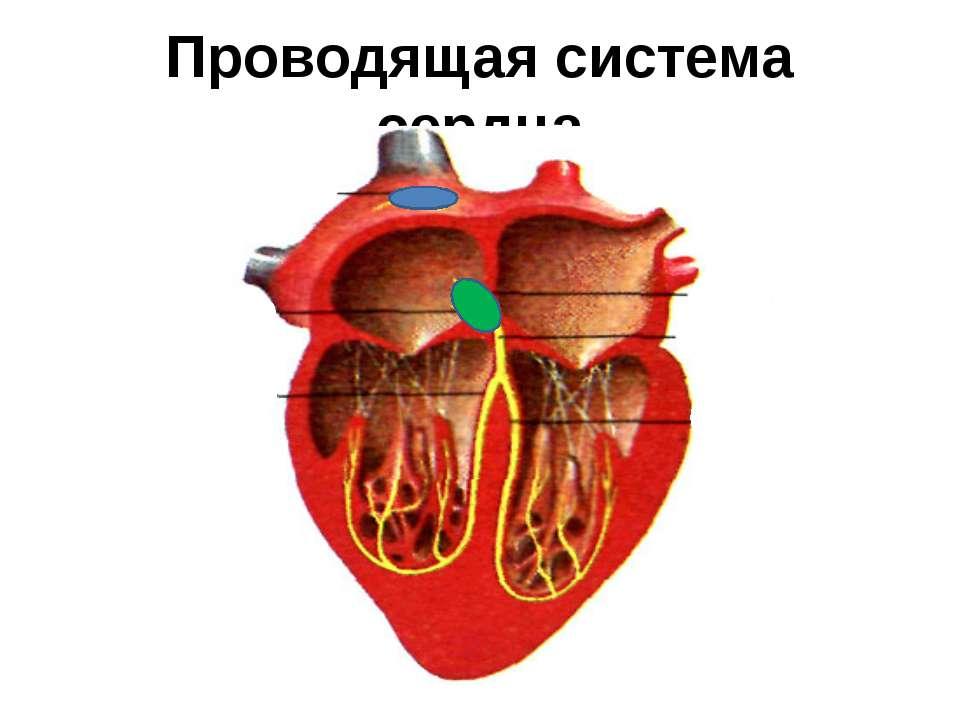 Проводящая система сердца