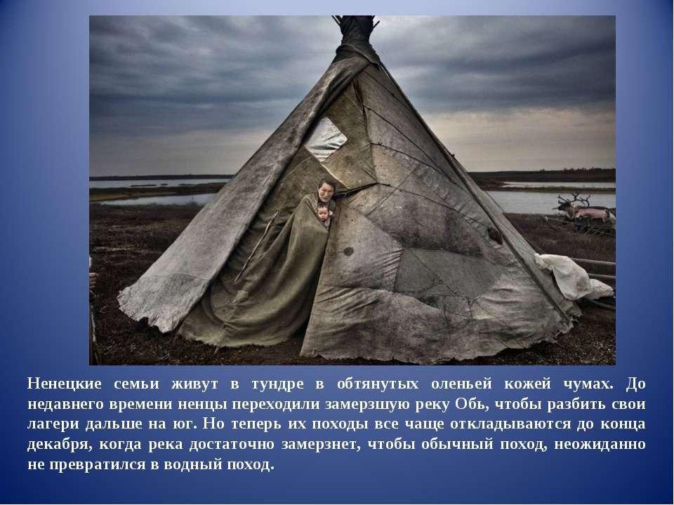 Ненецкие семьи живут в тундре в обтянутых оленьей кожей чумах. До недавнего в...