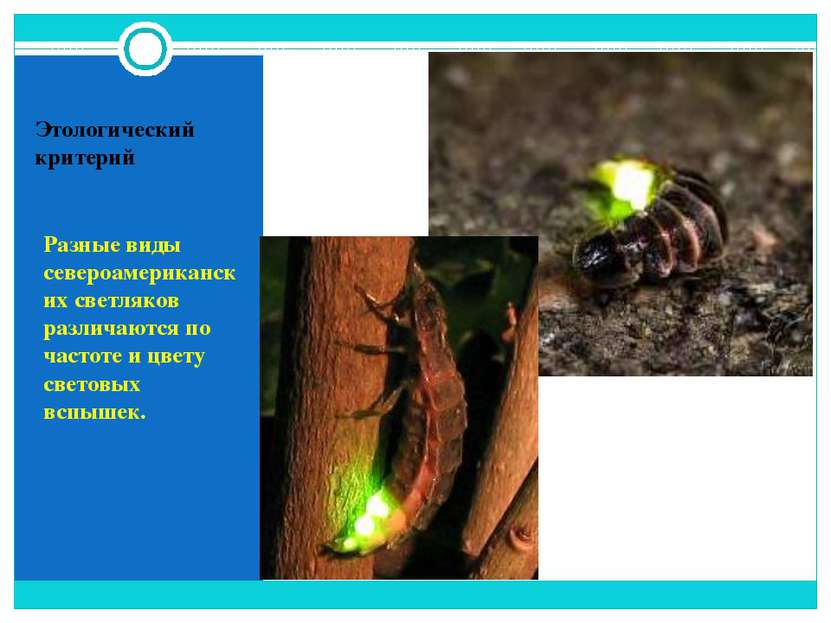 Этологический критерий Разные виды североамериканских светляков различаются п...