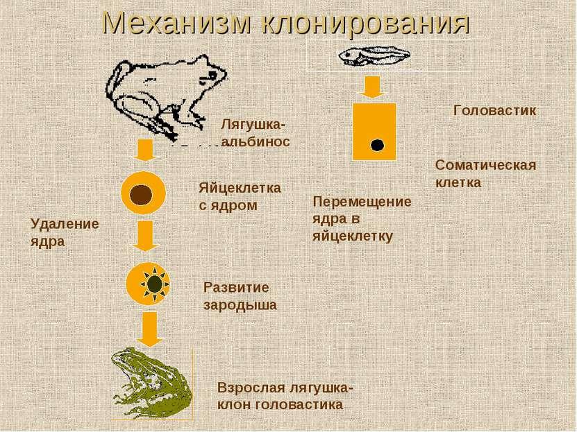 Механизм клонирования Лягушка-альбинос Яйцеклетка с ядром Удаление ядра Голов...