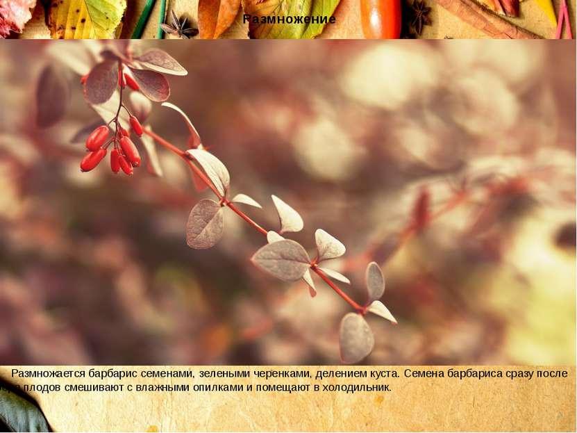 Размножение Размножается барбарис семенами, зелеными черенками, делением куст...