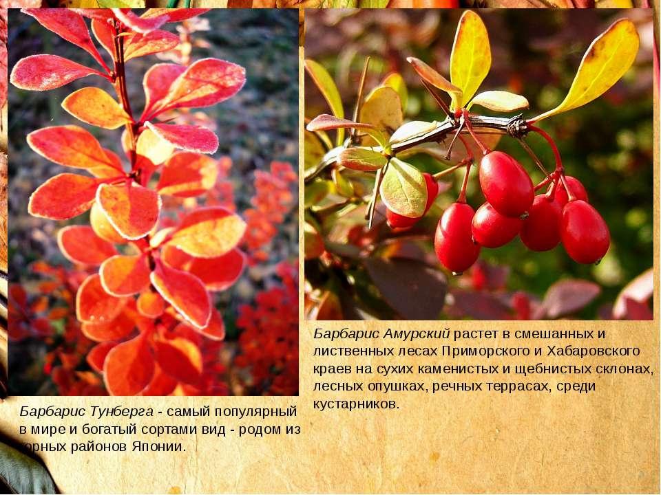 Барбарис Тунберга- самый популярный в мире и богатый сортами вид - родом из ...