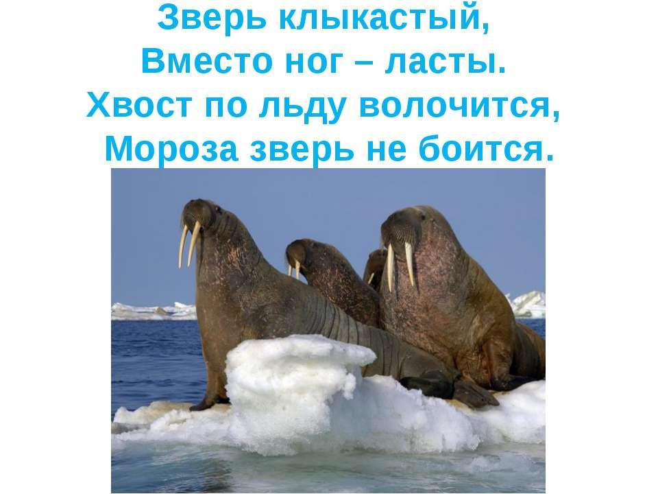 Зверь клыкастый, Вместо ног – ласты. Хвост по льду волочится, Мороза зверь не...