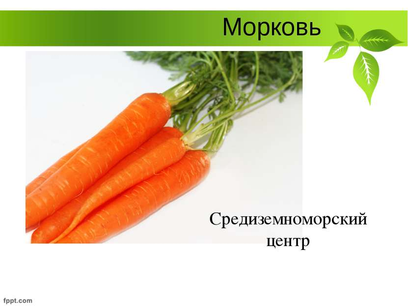 Морковь Средиземноморский центр