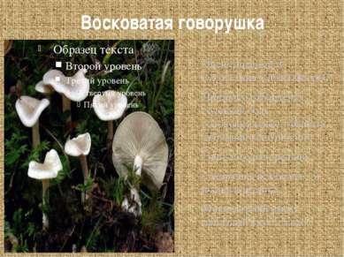 Восковатая говорушка Очень опасный и смертельно ядовитый гриб! Признаки отрав...