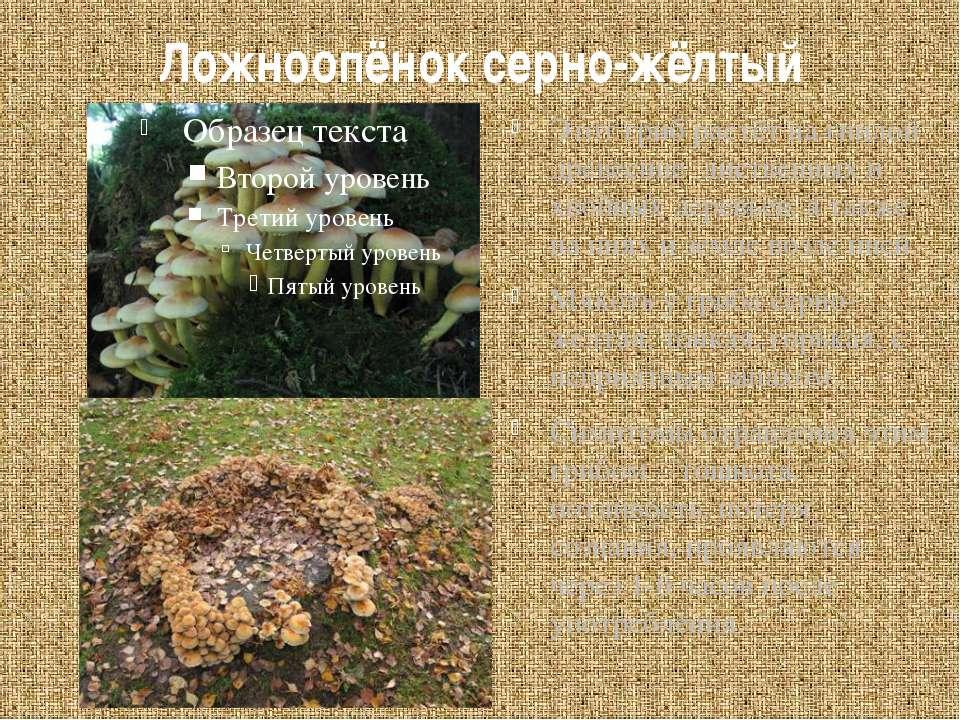 Ложноопёнок серно-жёлтый Этот гриб растёт на гнилой древесине лиственных и хв...