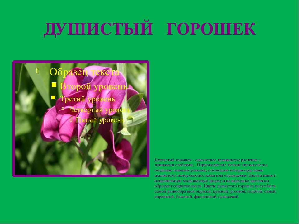 ДУШИСТЫЙ ГОРОШЕК Душистый горошек - однолетнее травянистое растение с длинным...
