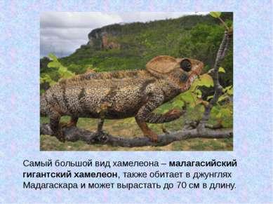 Самый большой вид хамелеона –малагасийский гигантский хамелеон, также обитае...