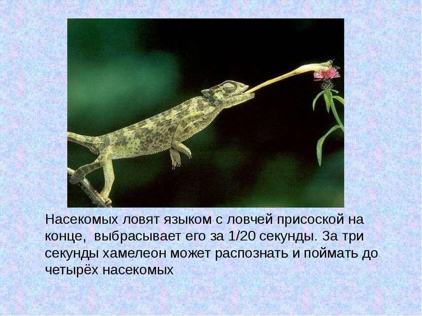 как хамелеон ловит мух