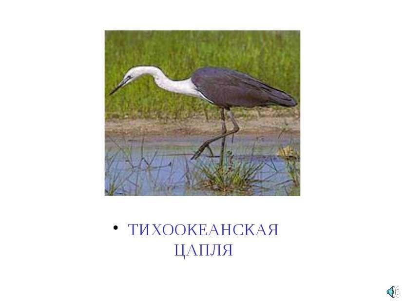 ТИХООКЕАНСКАЯ ЦАПЛЯ