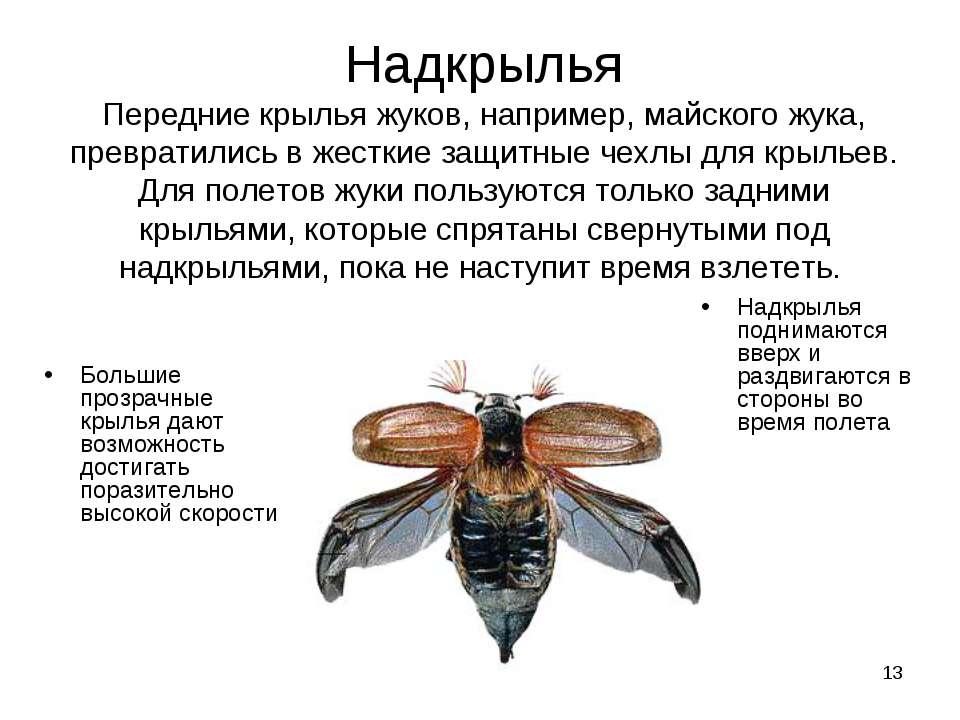 * Надкрылья Передние крылья жуков, например, майского жука, превратились в же...