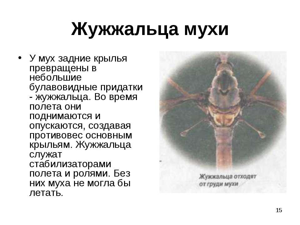 * Жужжальца мухи У мух задние крылья превращены в небольшие булавовидные прид...